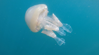 Barrel Jellyfish Mounts Bay
