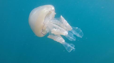Barrel Jellyfish Mounts Bay