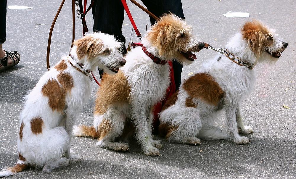 chiens promenades