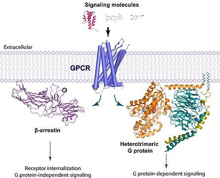 GPCR signaling, G protein, arrestin, structures, biased signaling