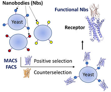 Yeast display, nanobody, GPCR