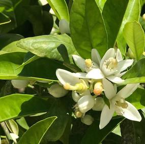 Zitronenblüte  im Garten von Villa Kaktus.jpg