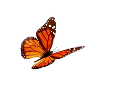 butterfly-transparent-background.png