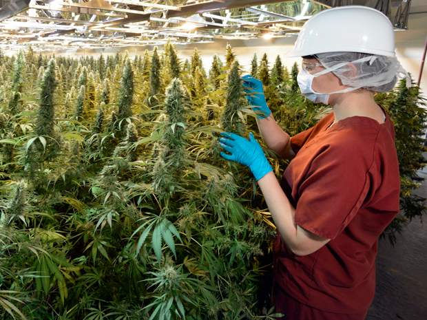 Operations - Cannabis Cultivation