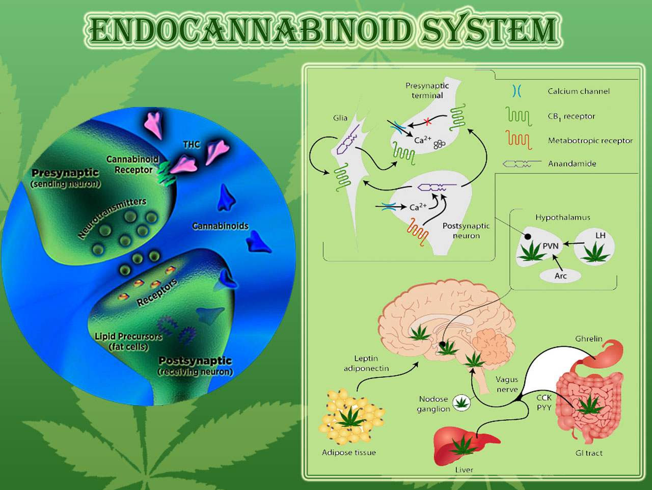 Homeostasis & Endocanabanoid System