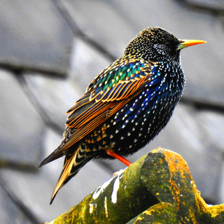 Colourful Starling