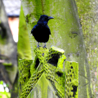 Crow on Headstone
