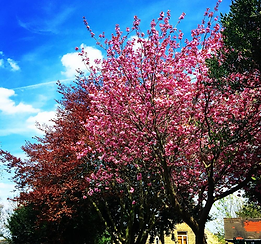 Cherry Blossom Tree in the cemetery