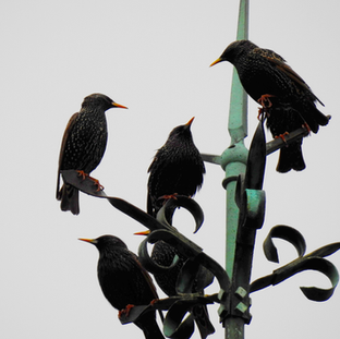 Starlings on Lightning Conductor