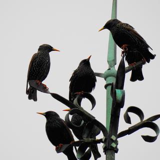 Starlings on Lightning Conductor