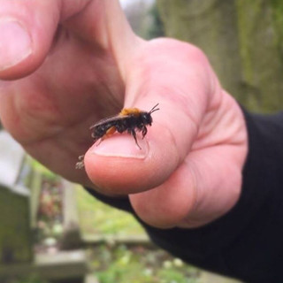 Tawny Mining Bee on a finger