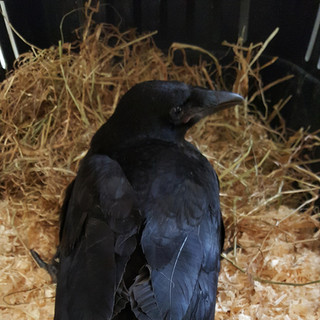 Rescued Crow