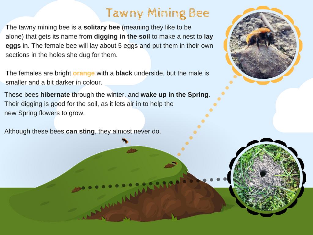 Tawny Mining Bees Fact Card