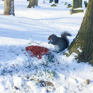Squirrel in the Snow eating nuts