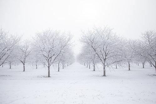 Winter Cherry Trees