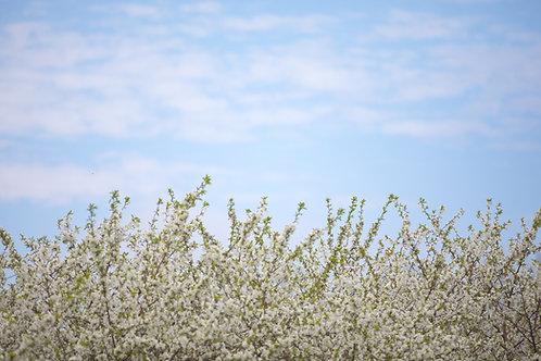 Cherry Blossom Sky