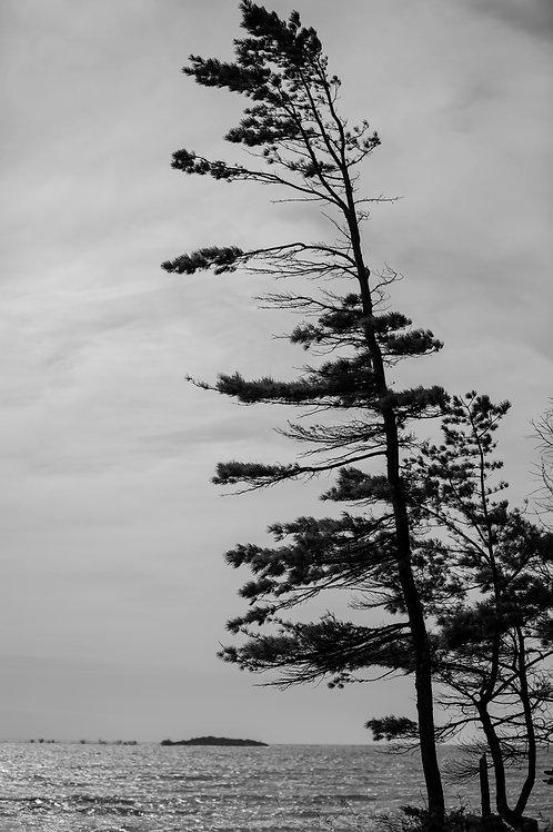 Door County Tree