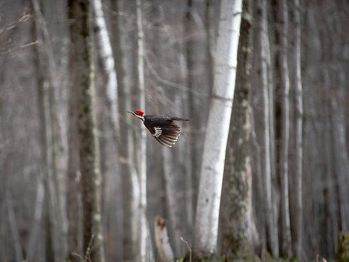 Woodpecker Flight