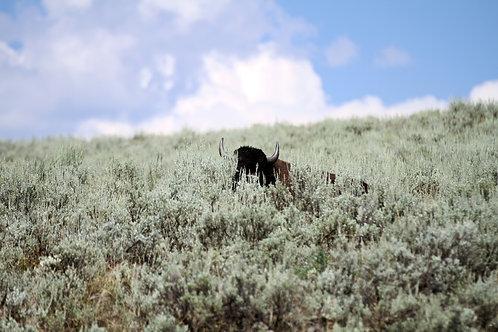 Bison Hiding