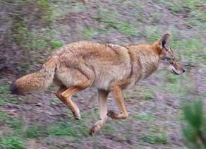 Aggressive Coyotes