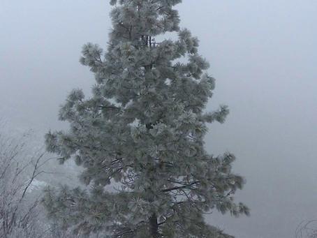 Ponderosa Pine Trees - environmental stress