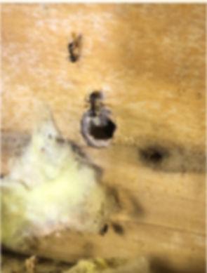 carp ant pic.jpg