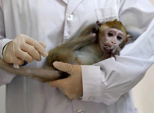 Funcionó con éxito la vacuna contra el coronavirus en monos