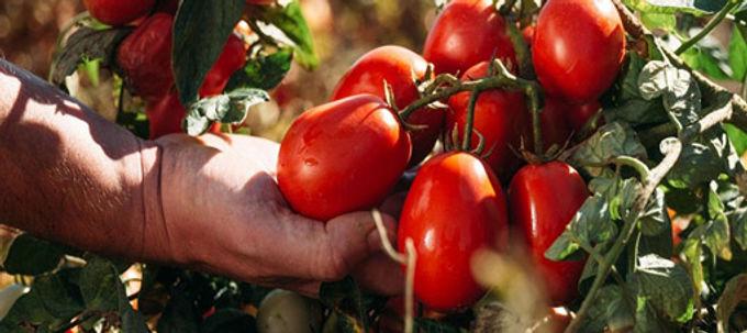Desarrollan en Israel tomates que combaten enfermedades degenerativas