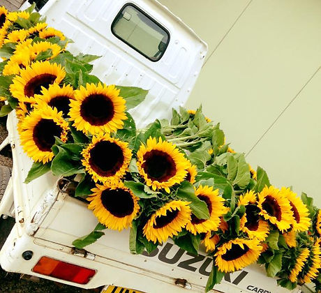 Fresh Sunflower at Hollam Nurseries