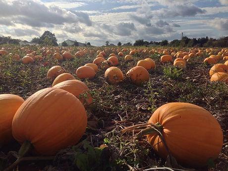 Home-grown pumpkins at Hollam Nurserie