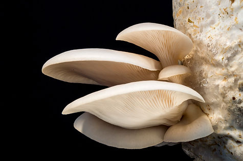 oyster-mushrooms 2.jpg