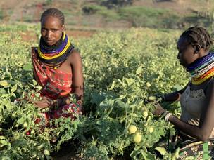 Nuevas prácticas productivas en Kokuselei, Kenia