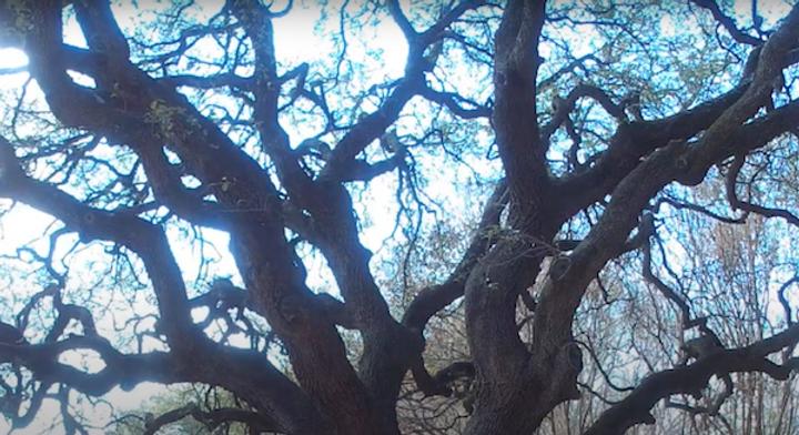 oak tree canopy.png