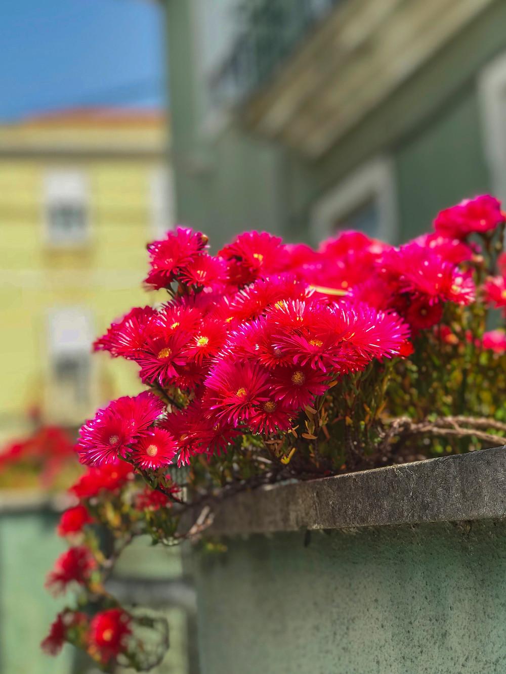 Flores vermelhas em Estoril