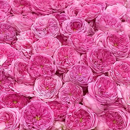 tas de roses fraîches centifolia pour eau de rose