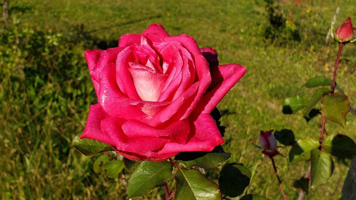 rose_merveilleuse.jpg