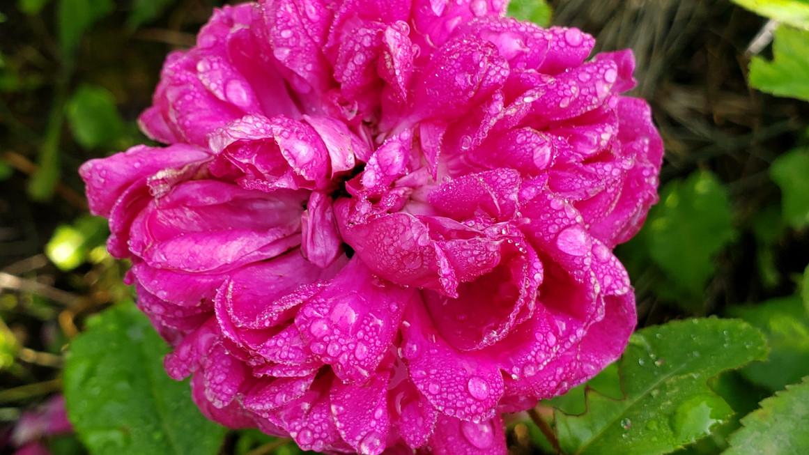 rose-ouverte.jpg