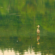 Heron - Esquimalt Lagoon