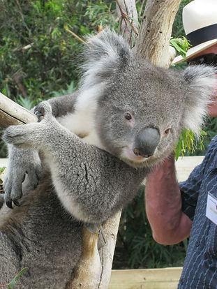 koalas, Tasmanian Devils, Bonorong WIldlife Sanctuary