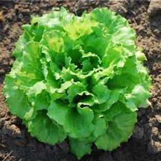 Salades Batavia ,Feuille de chene ou laitue bio à la pièce