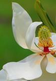 Dancing Magnolia