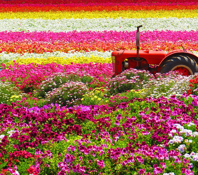 Tractor in the middle of Carlsbad FLower