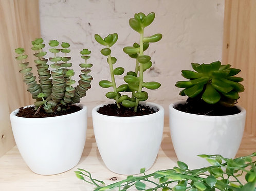 Assortiment vetplantjes