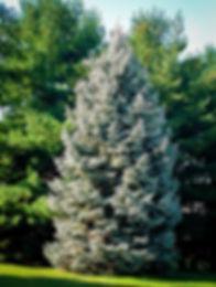 white-spruce-1.jpg
