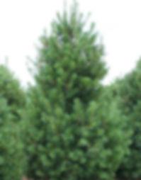 Eastern_White_Pine_450_grande.jpg