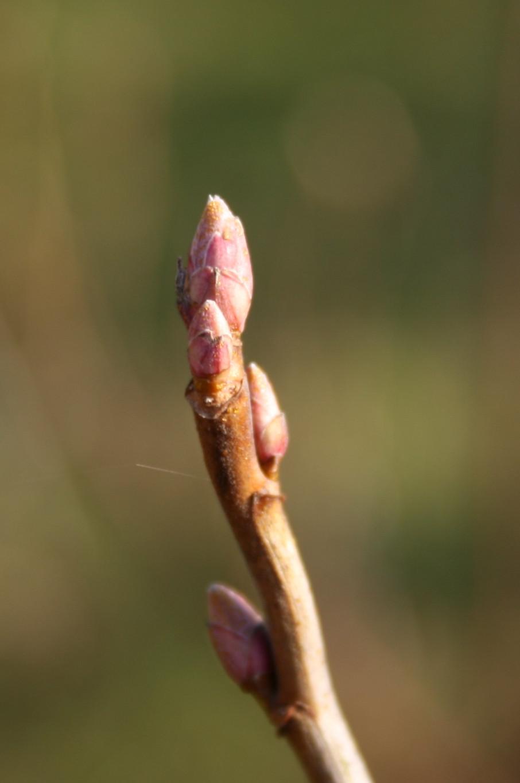 Black Currant bud