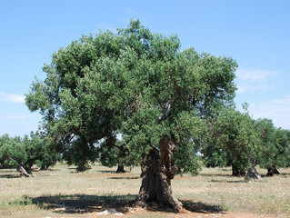 Olive - A symbol of Peace and Prosperity