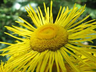 Elecampane - A Supportive Herbal Ally