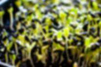 microgreens-unincluded.jpg