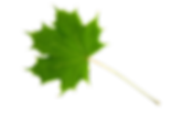 sugar-maple-transparent.png